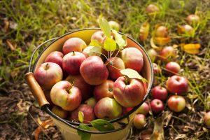 u-pick apples at woodside orchards in north fork