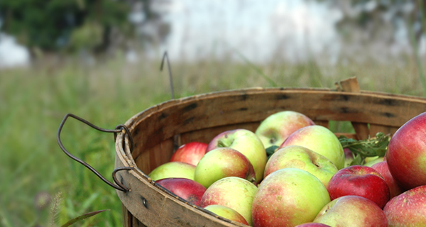 A basket of apples in an orchard